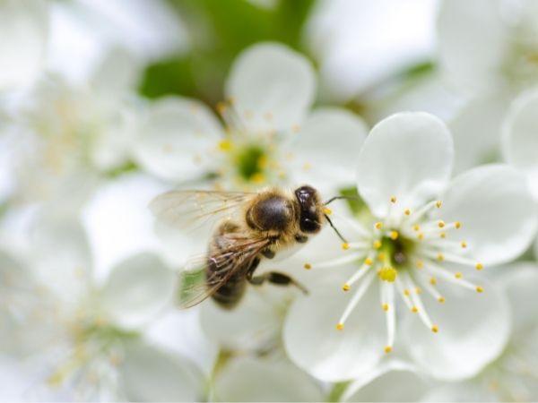 ape su un fiore bianco